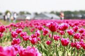 picture of glorious  - Visitors walking between the glorious array of pink tulips in the flower fields of Holland - JPG