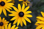 image of black-eyed susans  - A Black - JPG