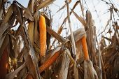 picture of zea  - Preparation of a corn field to harvest - JPG