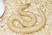 image of albinos  - beautiful Anerythristic Albino Kenyan sand boa - JPG