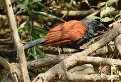 stock photo of greater  - beautiful Greater Coucal  - JPG