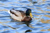 image of duck  - wild duck in the lake  - JPG