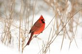 foto of cardinal  - Male northern cardinal perched on a branch following a winter storm - JPG
