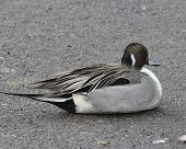 stock photo of pintail  - Northern Pintail lying on a snowless section of parking lot next to frozen over pond - JPG