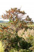 picture of sea-buckthorn  - Wild sea buckthorn bush growing in a field - JPG