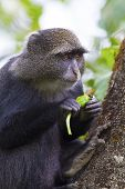 picture of monkeys  - Blue monkey or sykes monkey eat fruit in a tree in Arusha - JPG