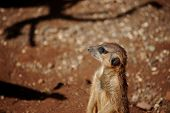stock photo of meerkats  - Standing yellow meerkat looking like sentinel on the light brown background - JPG