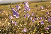 stock photo of harebell  - Bell flower  - JPG