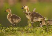 An alert duck