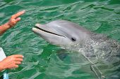 foto of cetacea  - Hands of a person touching a dolphin
