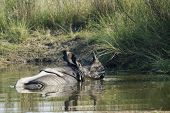 picture of greater  - Rhinoceros unicornis - JPG