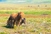picture of iceland farm  - Two Icelandic horses - JPG