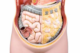 pic of intestines  - Artificial model of human bowels or intestines isolated on white background - JPG