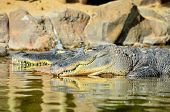 picture of crocodiles  - Big Brown and Yellow Amphibian Prehistoric Crocodile - JPG