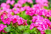 pic of geranium  - beautiful blooming red geranium flower with green leaves in nature background coseup - JPG