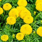 stock photo of marigold  - beautiful blooming yellow Marigolds Tagetes erecta flowers background closeup - JPG