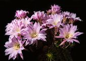 foto of cactus  - Beautiful pink cactus flowers. 20 years old cactus