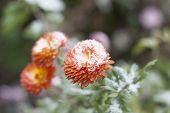 image of chrysanthemum  - Orange chrysanthemum in the garden under the snow - JPG