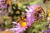 Virginia Flower Fly (milesia Virginienis)