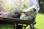 picture of wheelbarrow  - A woman carrying a wheelbarrow land for planting crops and seedlings - JPG