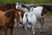 stock photo of herd horses  - Herd of horses on the meadow at summer time - JPG