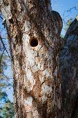 foto of woodpecker  - Woodpecker nest in apple tree at home garden - JPG