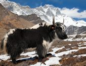 stock photo of yaks  - Yak on the way to Everest base camp and mount Lhotse  - JPG