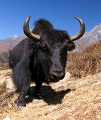 pic of yaks  - Black yaks on the way to Everest base camp  - JPG