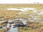 picture of saharan  - A pod of four hippopotimi lie in a shallow pool of water created by some flooding on Sidudu Island inside the Chobe river - JPG