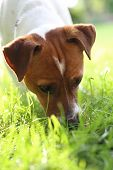 image of jack russell terrier  - Dog on vacation - JPG