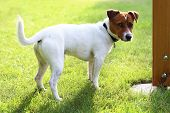 stock photo of jack russell terrier  - The dog breed Jack Russell terrier on the green grass on a sunny day - JPG