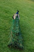 stock photo of peahen  - Peacock on a green grass - JPG