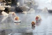 picture of macaque  - Snow Monkeys Japanese Macaques bathe in onsen hot springs of Nagano - JPG