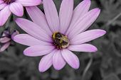 stock photo of bumble bee  - Bumble bee sat on a pink flower - JPG
