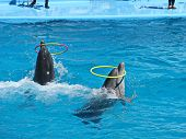 image of dolphin  - Two dolphins playing with rings in dolphinarium - JPG