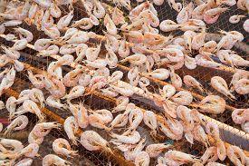 picture of shrimp  - Dried shrimp  - JPG