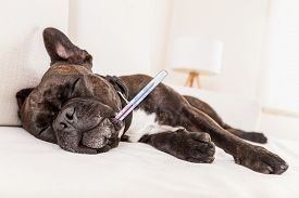 pic of temperature  - french bulldog dog having a hangover or feeling very sick and ill with temperature thermometer in mouth showing fever - JPG