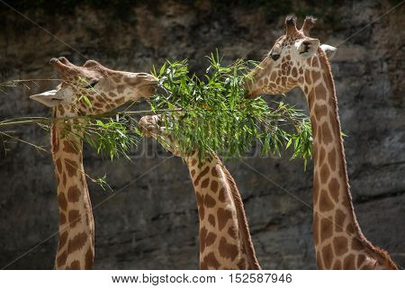 Kordofan giraffe (Giraffa camelopardalis antiquorum), also known as the Central African giraffe. Wil