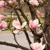 stock photo of japanese magnolia  - Early Spring Blossoms of a Japanese Magnolia - JPG