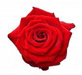 rosa vermelha sobre branco isolado