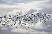 Geese And The Clouds