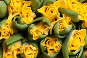 beautiful yellow double tulips, background