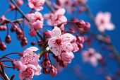 stock photo of cherry blossoms  - Beautiful cherry blossoms - JPG