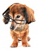 Smart dog! Dachshund wearing reading glasses. Part of a creative series featuring the same pup.