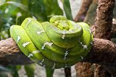 Emerald boa constrictor also known as the green tree boa.