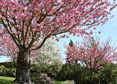 stock photo of cherry trees  - Gorgeous early spring blooming cherry trees in pink and white - JPG