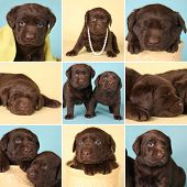 Purebred chocolate labrador retriever puppies, all from the same litter. poster