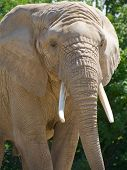 Close-up Of African Elephant