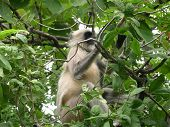 Black Faced Monkey