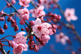 stock photo of cherry blossoms  - Beautiful cherry blossoms - JPG
